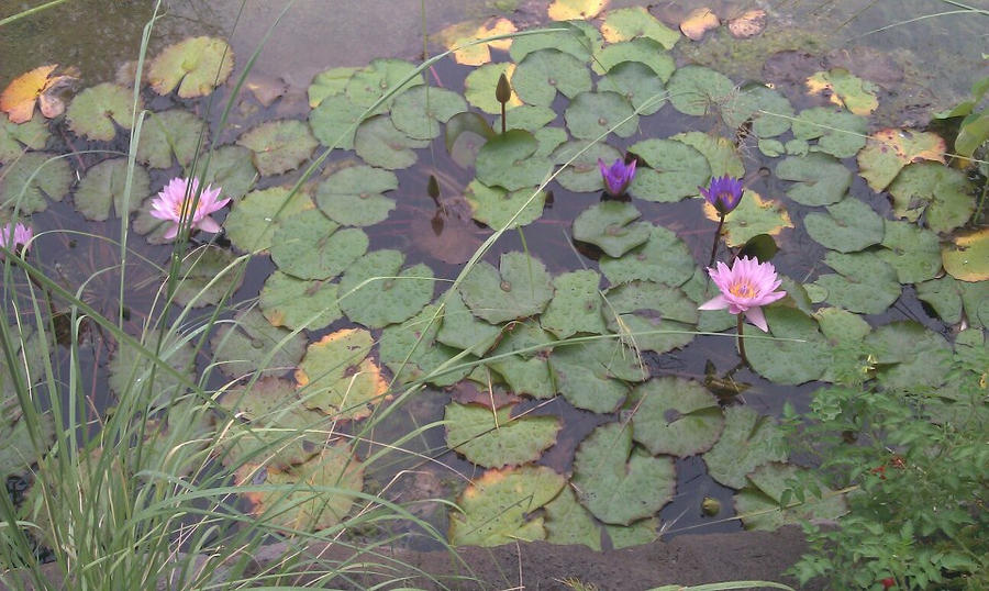 Lily Pads by Slicenndice