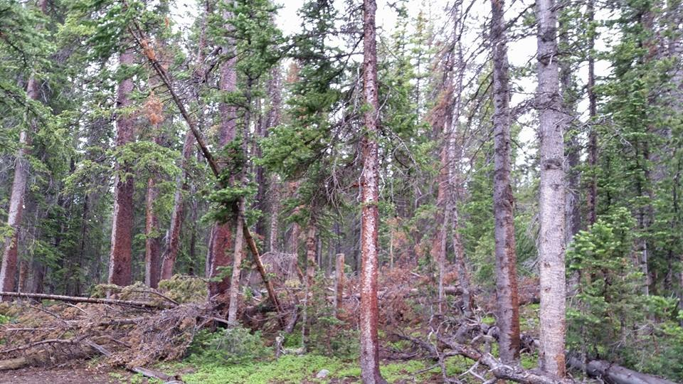 Pines by Slicenndice