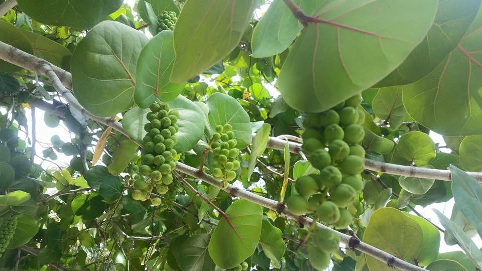 Sea Grapes by Slicenndice