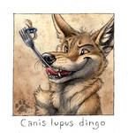 Canis lupus dingo