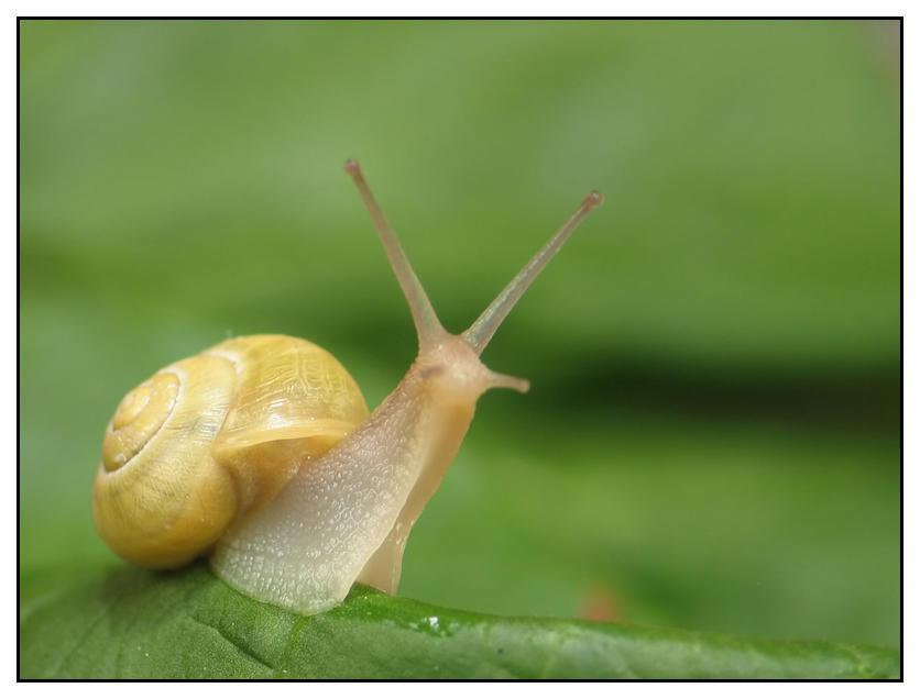 White-lipped Garden Snail by jmb462