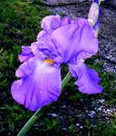 Rainy Day Iris 1