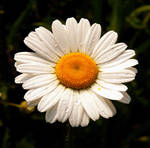 Wet Daisy by PridesCrossing