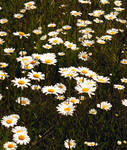 A Daisy Field by PridesCrossing