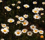 A Daisy Field 2