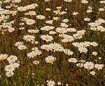 A Daisy Field 4