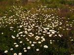 A Daisy Field 5