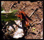 Red Wasp 1