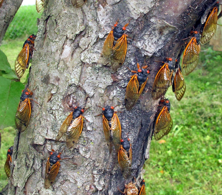 Cicada Invasion 1 by PridesCrossing