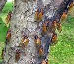 Cicada Invasion 1