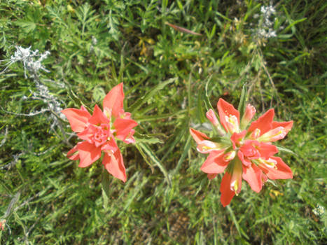 Oklahoma Wild Flower