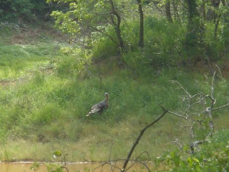 Turkey at the Pond