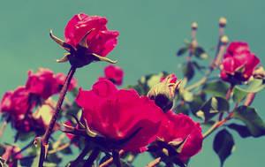 vintage roses by terrordactil