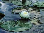 Lotus by MrWhiZZlEs-Wife