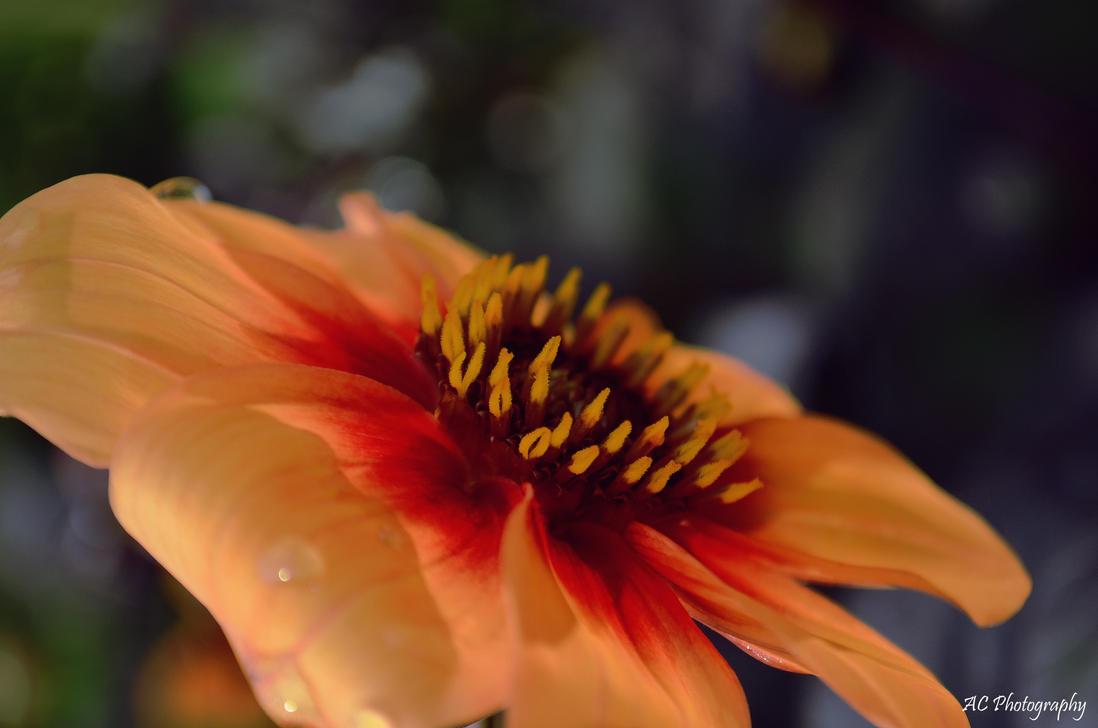 Peachy by anna-hawk