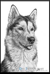 Sibirien Husky Drawing
