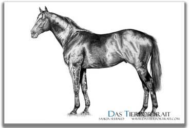 Stallion - graphite drawing