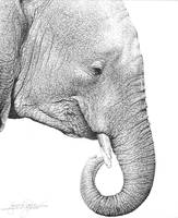 pen and ink of elephant by amraa