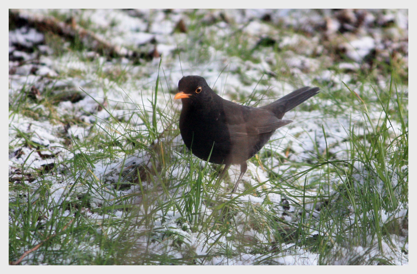 Winter Blackbird by YunaHeileen
