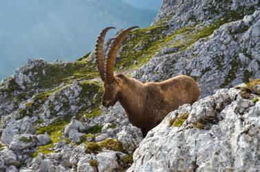 Stock 492 Ibex