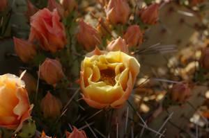 Cactus Bloom (2)