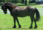 Black Horse Stock 000