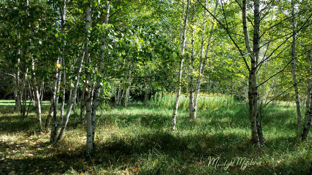 Beautiful Birch Trees