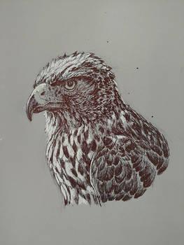Hawk sketching