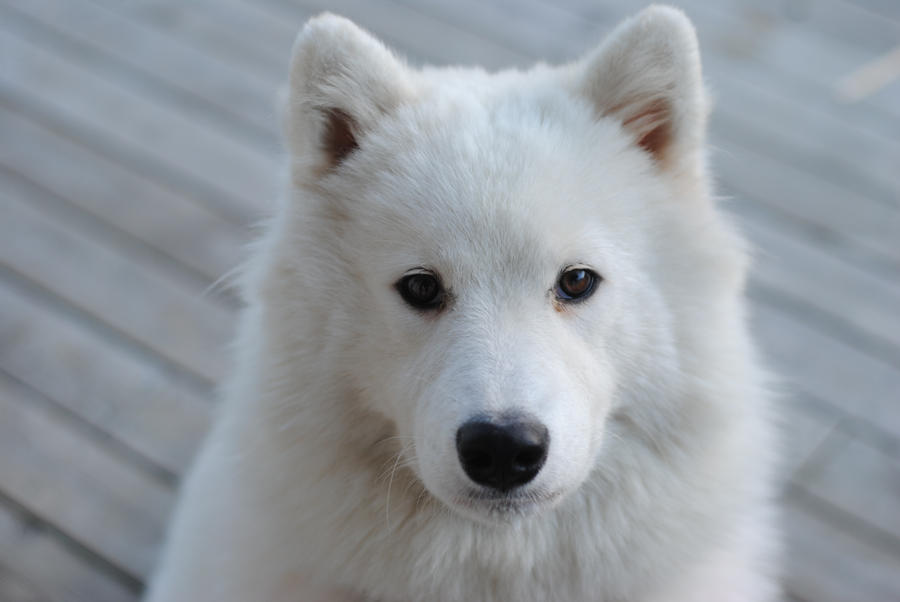 Samoyed by IdaSP