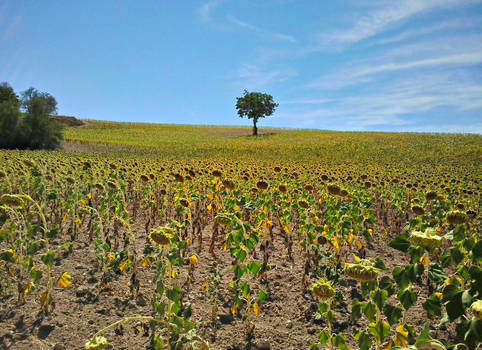 Sunflowers at La Peraleja, Spain by carrodeguas