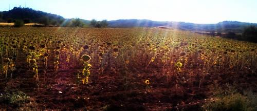 Sunflowes Cuenca, Spain