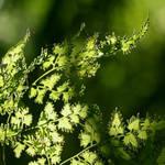 woodland veil