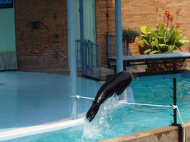 Sea Lion from St. Louis Zoo 6 by Seferia