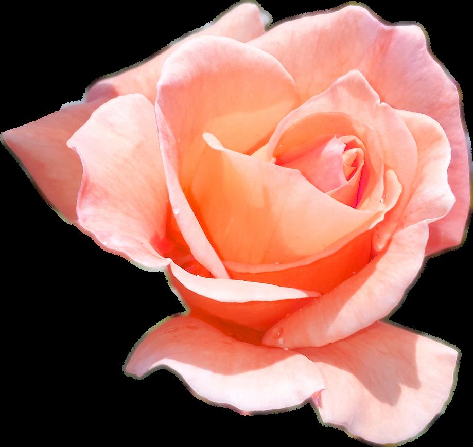 Peach rose by pandymonium62 on deviantart - Peach rose wallpaper ...