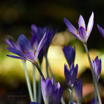 Fall.is.for.Crocus