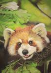 Red panda 5