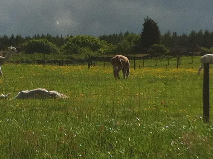 Alpaca peeing position by missmiakomyori