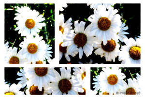 Daisies by HarleyBliss