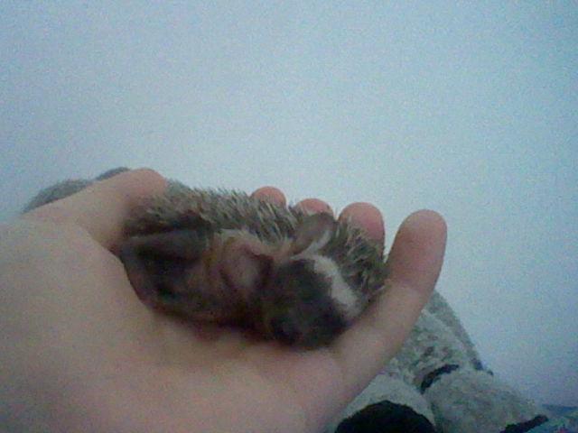 Baby Hedgehog by Reinohikari