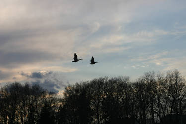Silhouetted Geese in Flight by Nimitx