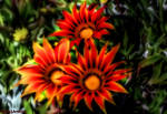 Flowers From Fairie Land....