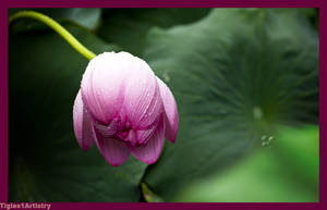 Lotus.... by Tigles1Artistry