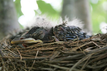 Baby Robins 4 by syberangyl
