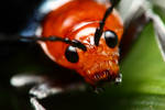Red faced beetle