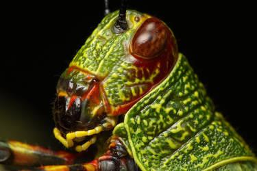 Grasshopper portrait by gmazza