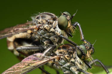 Green Robber Fly Mating by gmazza