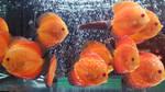 Orange fish by haseeb312
