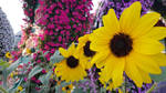 Sunflower Party by haseeb312