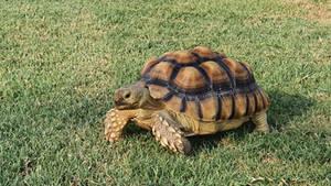 Phoebe the tortoise