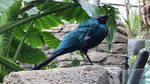 Long Tailed Starling by haseeb312